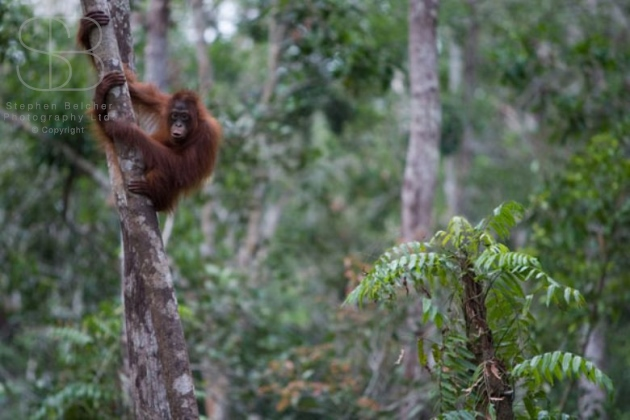 orangutans, horizontal, tree tops, holding, rain forest, looking, Tanjung Putting National Park, Borneo, Indonesia, Bornean orangutan, (Pongo pygmaeus),