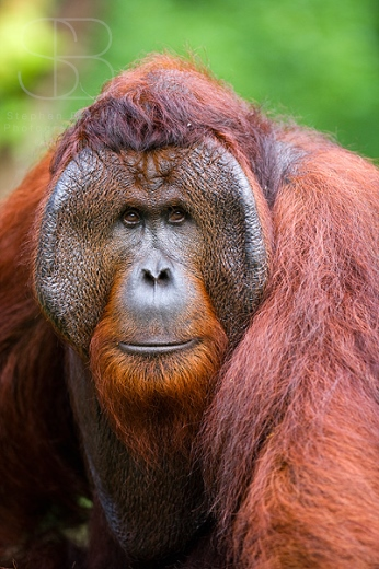 orangutans, vertical, male, head, shoulders, face on, looking straight, Tanjung Putting National Park, Borneo, Indonesia, Bornean orangutan, (Pongo pygmaeus),