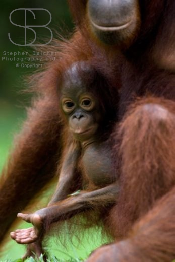 orangutans, vertical, mother and baby, holding, hand outstretched, Tanjung Putting National Park, Borneo, Indonesia, Bornean orangutan, (Pongo pygmaeus),