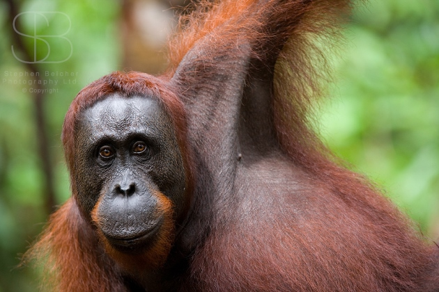 orangutans, horizontal, hanging, head and shoulders, looking forward, Tanjung Putting National Park, Borneo, Indonesia, Bornean orangutan, (Pongo pygmaeus),