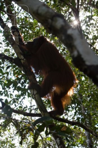 orangutans, vertical, rain forest, tree tops, climbing, light, Tanjung Putting National Park, Borneo, Indonesia, Bornean orangutan, (Pongo pygmaeus),