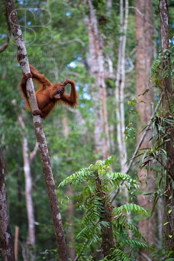 orangutans, vertical, rain forest, trees, holding on, Tanjung Putting National Park, Borneo, Indonesia, Bornean orangutan, (Pongo pygmaeus),