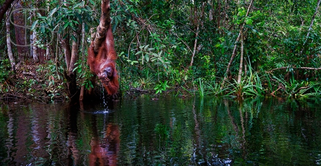 orangutans, horizontal, rain forest, water, river, drinking, hanging, trees, Tanjung Putting National Park, Borneo, Indonesia, Bornean orangutan, (Pongo pygmaeus),