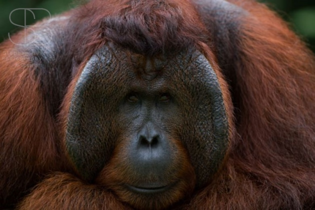 orangutans, horizontal, face, looking front on, male, Tanjung Putting National Park, Borneo, Indonesia, Bornean orangutan, (Pongo pygmaeus),