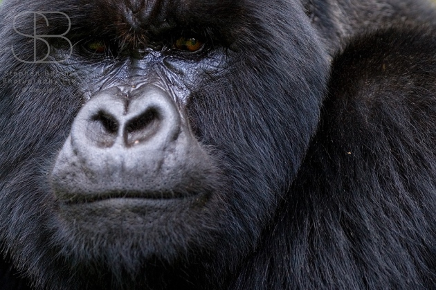 mountain gorilla, horizontal, face on, looking straight on, Rwanda, Parc des Volcanoes , (Gorilla gorilla beringei)