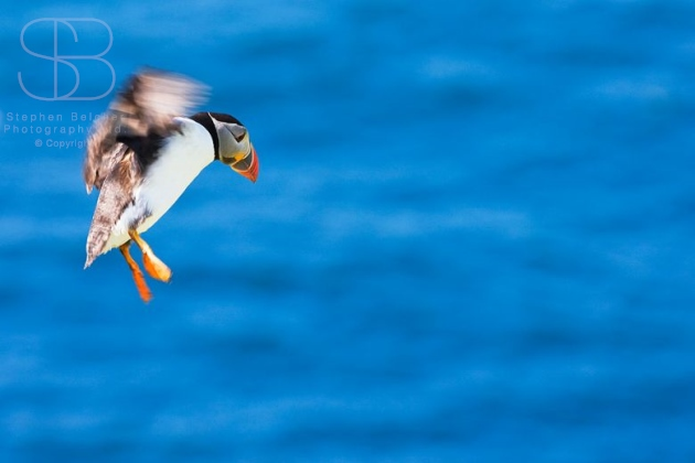 puffins, horizontal, flying, landing, sea, ocean, blue, UK, Scotland, Shetland Islands, Atlantic puffin (Fratercoula arctica)