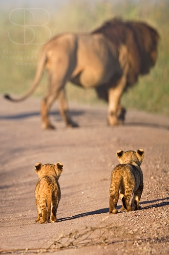 lions, cubs, walking, vertical, walking away, rear, male, Ngorongoro Crater, Ngorongoro Conservation Area, Tanzania, Lion (Panthera leo)