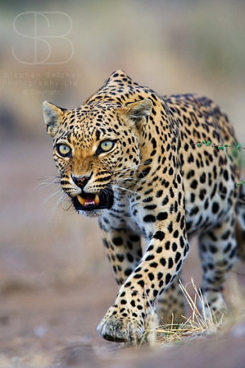leopard, vertical, walking, prowling, mouth open, teeth, moving, front view, Namibia, African leopard (Panthera pardus)