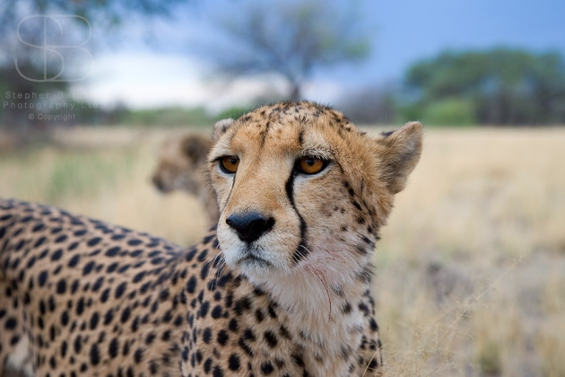 cheetah, horizontal, standing, head turned, close up, face, dry grass, Namibia, Cheetah (Acinonyx jubatas)