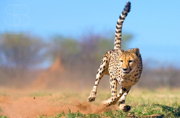 cheetah, horizontal, running, front on, in air, dust, grass, tail in air, CCF, controlled environment, Namibia, Cheetah (Acinonyx jubatas)