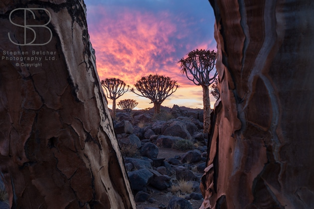trees, horizontal, pink, trunks, texture, bark, rocks, sunset, close up, Quiver tree, (Aloe dichotoma), Namibia