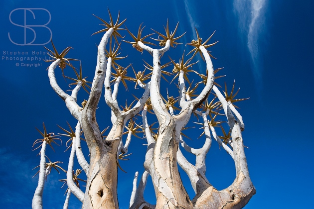trees, horizontal, close up, bright blue sky, flowers, spikes, bark, branches, low angle, Quiver tree, (Aloe dichotoma), Namibia
