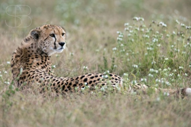 cheetah, horizontal, looking back, flowers, head turned, Ndutu, Serengeti Plains, Ngorongoro Conservation Area, Tanzania, Cheetah (Acinonyx jubatas)