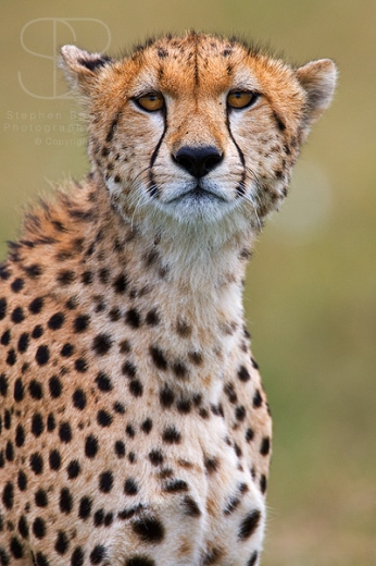 cheetah, vertical, looking at camera, head, face, close up, Ndutu, Serengeti Plains, Ngorongoro Conservation Area, Tanzania, Cheetah (Acinonyx jubatas)