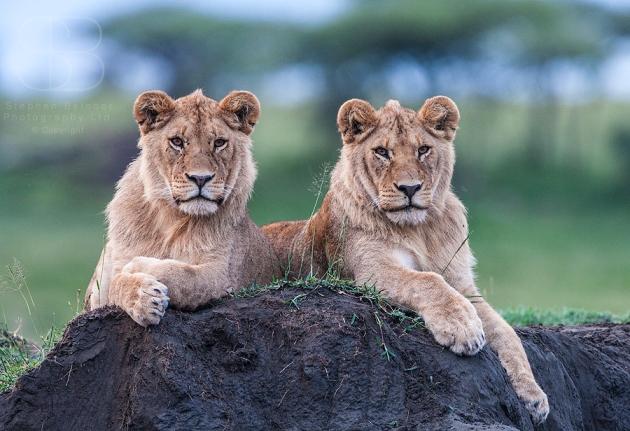 lions, horizontal, two, face on, lying down, looking face on, grass, dirt, on mound, paws, ears, Ndutu, Ngorongoro Conservation Area, Tanzania, Lion (Panthera leo)