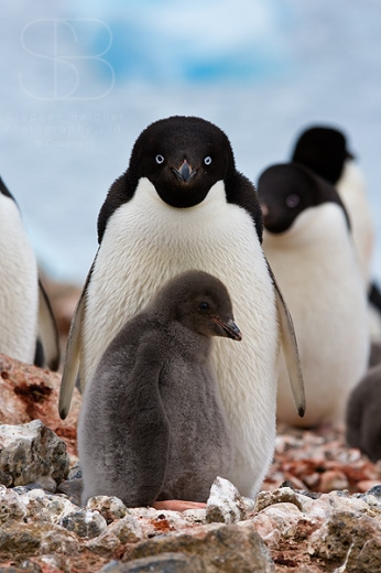 Adelie Penguins, Vertical, nest, chick, large group, ice, beach, rocks, Antarctica, Adelie penguin (Pygoscelis adeliae), Antarctic Peninsula