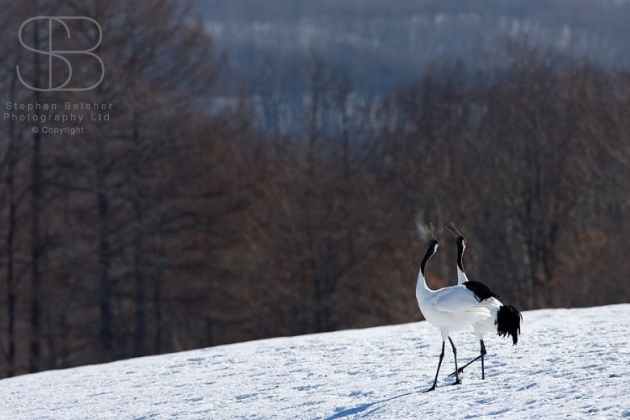 japanese red crowned cranes, horizontal, two, pair, together, standing, snow, bare trees, winter, heads raised, looking up, side view, Hokkaido, Japan, (Grus japonensis)