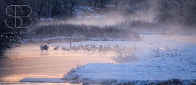 japanese red crowned cranes, horizontal, group, standing, water, mist, steam, dawn, river, snow, bare trees, winter, Hokkaido, Japan, (Grus japonensis)