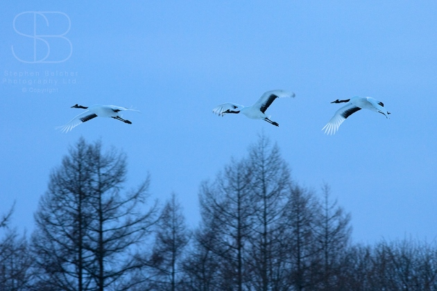 japanese red crowned cranes, horizontal, three, in flight, flying, wings, bare trees, blue, Hokkaido, Japan, (Grus japonensis)