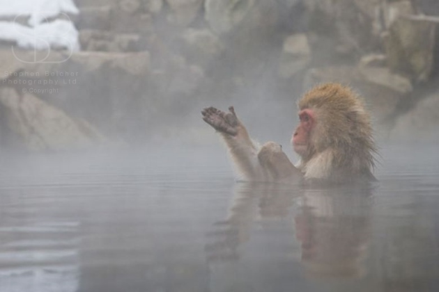 snow monkeys, horizontal, one, alone, bathing, steam, hot spring, winter, rocks, snow, side view, hand, palm, reflection, winter, Jigokudani Nature Reserve, Japanese Alps, Nagano Prefecture, Japan, Japanese macaque, (Macaca fuscata)