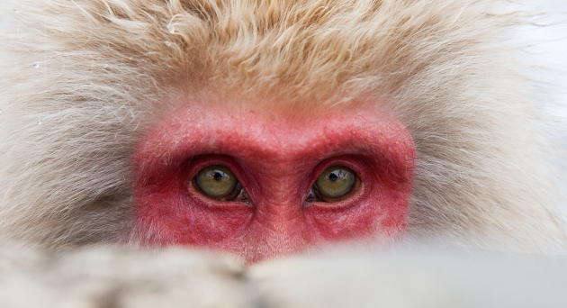 snow monkeys, horizontal, close up, no background, face, green eyes, red, peeping, looking at camera, no background, winter, Jigokudani Nature Reserve, Japanese Alps, Nagano Prefecture, Japan, Japanese macaque, (Macaca fuscata)