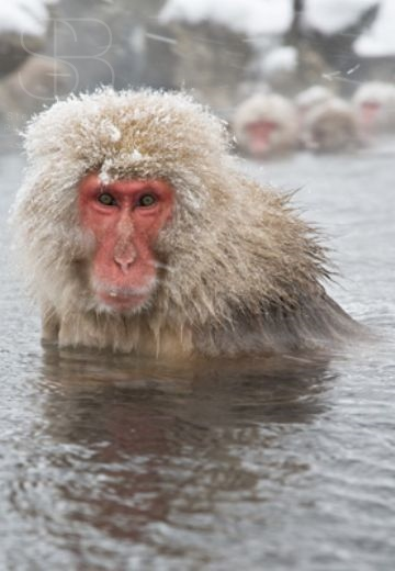 snow monkeys, vertical, water, snow on fur, water, hot spring, front view, looking at camera, winter, Jigokudani Nature Reserve, Japanese Alps, Nagano Prefecture, Japan, Japanese macaque, (Macaca fuscata)