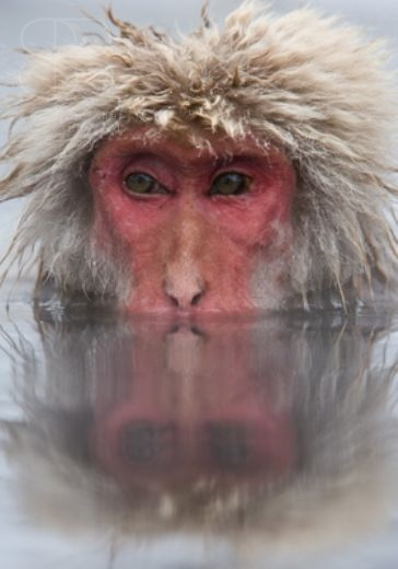 snow monkeys, vertical, one, alone, face, reflection, water, green eyes, close up, red face, fur, head only, winter, Jigokudani Nature Reserve, Japanese Alps, Nagano Prefecture, Japan, Japanese macaque, (Macaca fuscata)
