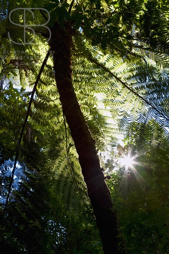 trees, vertical, sun rays, trunk, one, leaves, frongs, tree ferns, pongas, low angle view,  sunlight, New Zealand