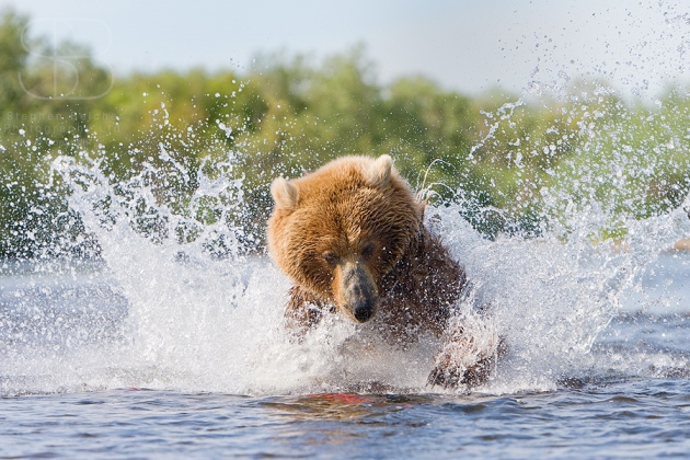 Bear, brown, splashing, water, river, pouncing, catching salmon, horizontal, Katmai National Park, Alaska, Grizzly bear (Ursus arctos)