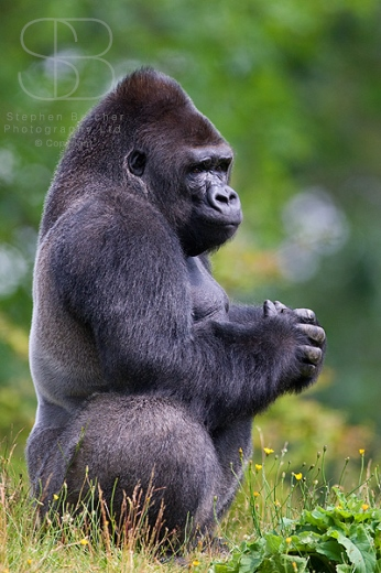 low land gorilla, vertical, male, side on, full body shot, crouching, hands clasped, fur, hair, solid, muscle, thinking, praying