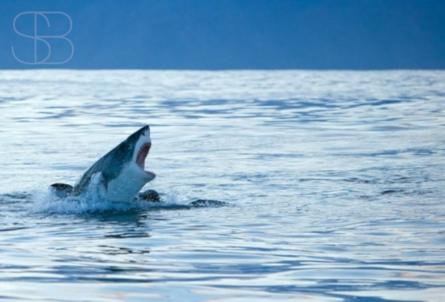 False Bay, South Africa, Great White Shark (Carcharodon carcharias), horizontal, sea, ocean,sky, blue, head, open mouth, jaws, eye, fin, calm, out of water, jaws