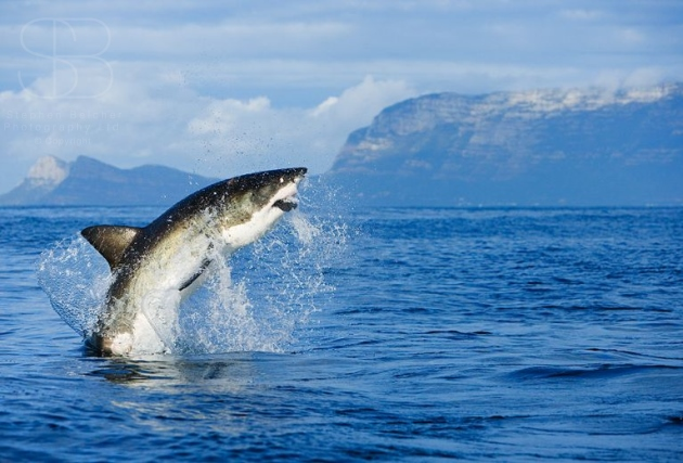 Great White Sharks / Wildlife Nature Photography