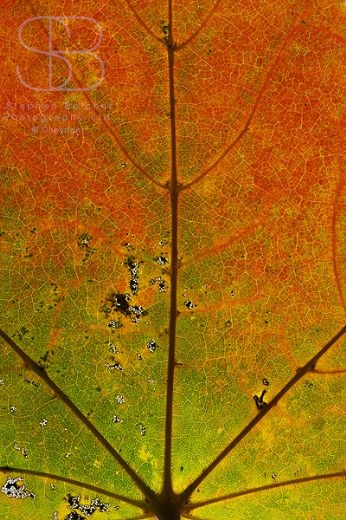 autumn leaves, horizontal, left, one, close up, green, orange, brown, veins