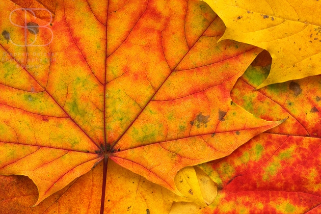autumn leaves, horizontal, yellow, red green, veins, stalk, many