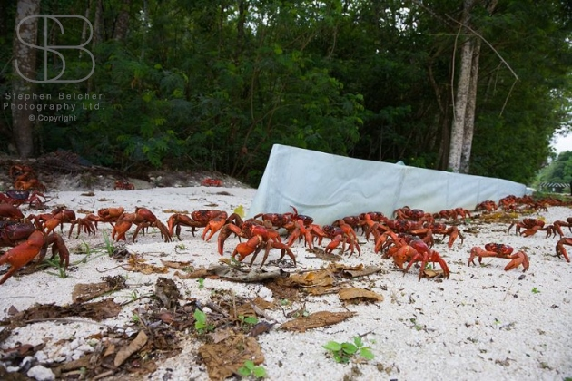 Christmas Island Red Crabs / Wildlife Nature Photography / Photography by Stephen Belcher ...