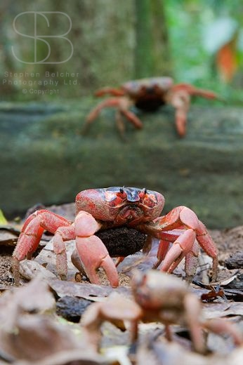Christmas Island Red Crabs Wildlife Nature Photography