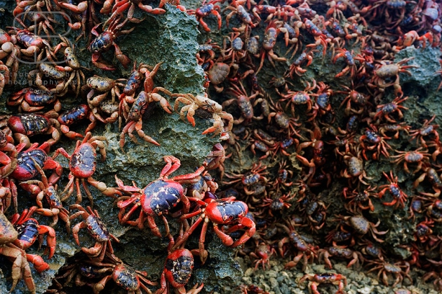 christmas island red crabs, horizontal, covering rock, large group, legs, claws, shell, black, no sky, no people, clinging, wildlife, Red Crab (Gecarcoidea natalis)