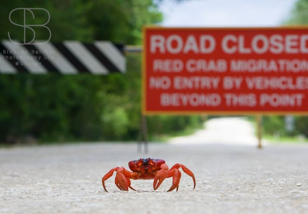 christmas island red crabs, horizontal, no people, road, sign, selective focus, orange, words, alone, one, walking, legs, claws, Red Crab (Gecarcoidea natalis)