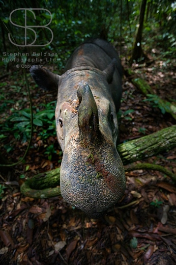 Way Kambas National Park, Sumatra, Indonesia, Sumatran Rhinoceros, Dicerorhinos sumatrensis, vertical, high view, top of head, face, horns, looking, ears, jungle, forest, skin, rough