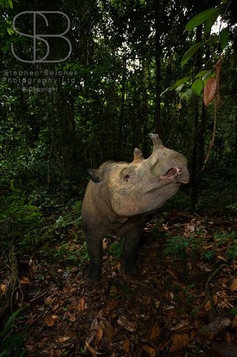 Way Kambas National Park, Sumatra, Indonesia, Sumatran Rhinoceros, Dicerorhinos sumatrensis, vertical, front view, head sideways, standing, jungle, forest, nostril, horns, leaves