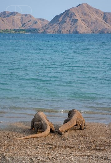 Komodo Dragon (Varanus komodoensis), Komodo Island, Komodo National Park, Indonesia, vertical, two, pair, rear view, tails, water, sea, beach, sand, going into water