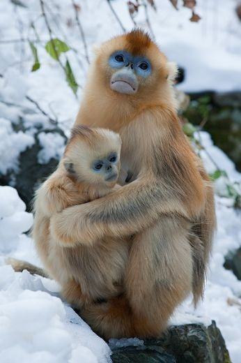 Golden Snub-nosed Monkey (Rhinopithecus roxellana), Zhouzhi Nature Reserve, Qinling Mountains, China, vertical, mother and baby, holding, cuddling, together, fur, perched on rock, snow, cold,