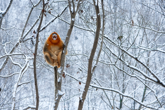 Golden Snub-nosed Monkey (Rhinopithecus roxellana), Zhouzhi Nature Reserve, Qinling Mountains, China, horizontal, one, alone, perched in tree, branches, bare, snow, calling, mouth open, orange, holding on, no sky, white