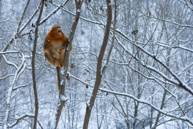 Golden Snub-nosed Monkey (Rhinopithecus roxellana), Zhouzhi Nature Reserve, Qinling Mountains, China, horizontal, alone, perched, tree, bare branches, snow, holding on, calling, mouth open, front view