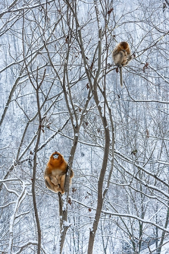 Golden Snub-nosed Monkey (Rhinopithecus roxellana), Zhouzhi Nature Reserve, Qinling Mountains, China, vertical, winter, snow, bare trees, branches, perched, orange, no ground, no sky, young, adult