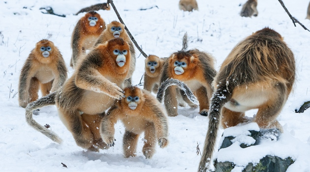 Golden Snub-nosed Monkey (Rhinopithecus roxellana), Zhouzhi Nature Reserve, Qinling Mountains, China, horizontal, group, orange, brown, blue, snow, family, group, tail, defending, protecting, jump