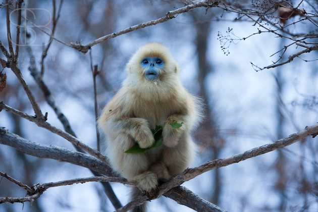 Golden Snub-nosed Monkey (Rhinopithecus roxellana), Zhouzhi Nature Reserve, Qinling Mountains, China, horizontal,blue face, fluffy, fur, sitting, leaf, branches, snow, young, alone, looking