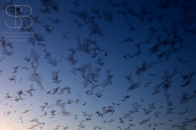 Straw-Coloured Fruit Bat, (Eidolon helvum), Kasanka National Park, Zambia, Africa, horizontal, low angle view, blue, sky, many, movement, on the move, abundance, long exposure, dusk, dawn