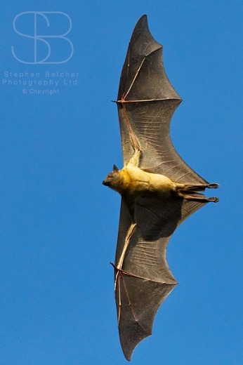 Straw-Coloured Fruit Bat, (Eidolon helvum), Kasanka National Park, Zambia, Africa, vertical, clear blue sky, one, alone, wings stretched, view underneath, soaring, spread, body, gliding