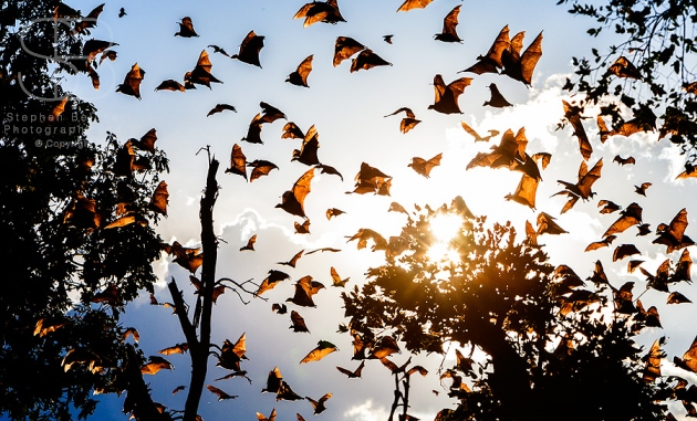 Straw-Coloured Fruit Bat, (Eidolon helvum), Kasanka National Park, Zambia, Africa, horizontal,on the move, sky full, sunlit, sun, low angle view, wings, brown, tree tops, flying, many, lots